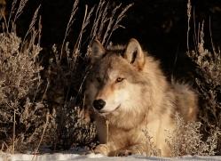 wolf-3565-montana-copyright-photographers-on-safari-com