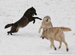 wolf-3567-montana-copyright-photographers-on-safari-com