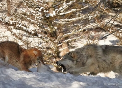 wolf-3568-montana-copyright-photographers-on-safari-com