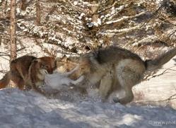 wolf-3569-montana-copyright-photographers-on-safari-com
