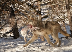 wolf-3572-montana-copyright-photographers-on-safari-com