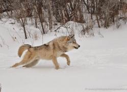 wolf-3573-montana-copyright-photographers-on-safari-com