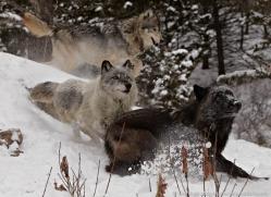 wolf-3574-montana-copyright-photographers-on-safari-com