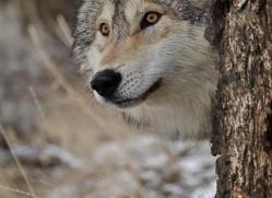 wolf-3575-montana-copyright-photographers-on-safari-com