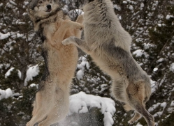 wolf-3577-montana-copyright-photographers-on-safari-com