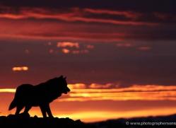 wolf-3578-montana-copyright-photographers-on-safari-com