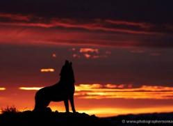 wolf-3579-montana-copyright-photographers-on-safari-com