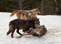 wolf-3580-montana-copyright-photographers-on-safari-com