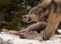 wolf-3581-montana-copyright-photographers-on-safari-com