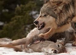 wolf-3582-montana-copyright-photographers-on-safari-com