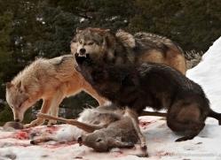 wolf-3583-montana-copyright-photographers-on-safari-com
