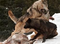 wolf-3585-montana-copyright-photographers-on-safari-com
