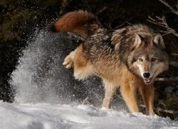 wolf-3587-montana-copyright-photographers-on-safari-com