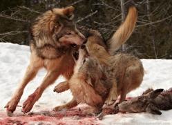 wolf-3588-montana-copyright-photographers-on-safari-com