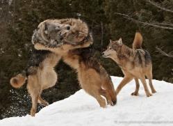 wolf-3591-montana-copyright-photographers-on-safari-com