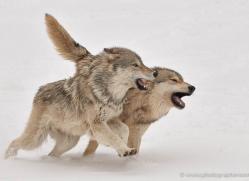 wolf-3594-montana-copyright-photographers-on-safari-com