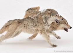 wolf-3595-montana-copyright-photographers-on-safari-com