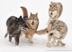 wolf-3596-montana-copyright-photographers-on-safari-com