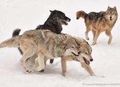 wolf-3598-montana-copyright-photographers-on-safari-com