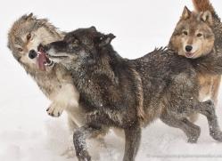 wolf-3599-montana-copyright-photographers-on-safari-com