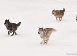 wolf-3600-montana-copyright-photographers-on-safari-com