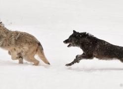 wolf-3601-montana-copyright-photographers-on-safari-com