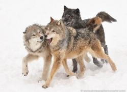 wolf-3602-montana-copyright-photographers-on-safari-com