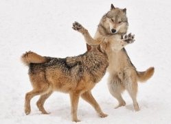 wolf-3604-montana-copyright-photographers-on-safari-com