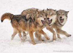wolf-3605-montana-copyright-photographers-on-safari-com