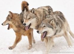 wolf-3606-montana-copyright-photographers-on-safari-com