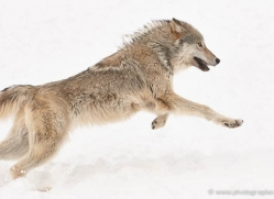 wolf-3607-montana-copyright-photographers-on-safari-com