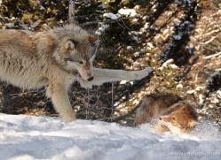 wolf-3608-montana-copyright-photographers-on-safari-com