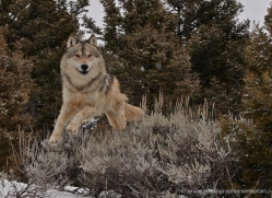 wolf-3609-montana-copyright-photographers-on-safari-com