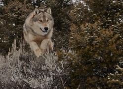 wolf-3610-montana-copyright-photographers-on-safari-com