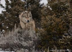 wolf-3611-montana-copyright-photographers-on-safari-com