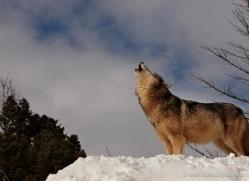 wolf-3665-montana-copyright-photographers-on-safari-com