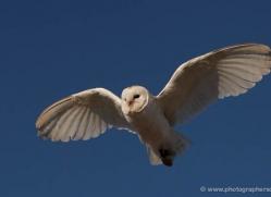 barn-owl-018-northumberland-copyright-photographers-on-safari-com