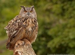 european-eagle-owl-002-northumberland-copyright-photographers-on-safari-com