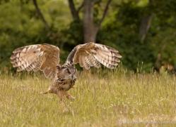 european-eagle-owl-003-northumberland-copyright-photographers-on-safari-com