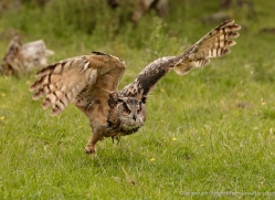european-eagle-owl-006-northumberland-copyright-photographers-on-safari-com