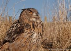 european-eagle-owl-009-northumberland-copyright-photographers-on-safari-com