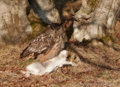 european-eagle-owl-011-northumberland-copyright-photographers-on-safari-com