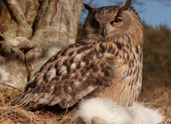 european-eagle-owl-012-northumberland-copyright-photographers-on-safari-com