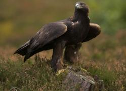 golden-eagle-040-northumberland-copyright-photographers-on-safari-com