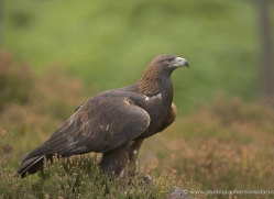 golden-eagle-041-northumberland-copyright-photographers-on-safari-com