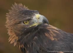 golden-eagle-044-northumberland-copyright-photographers-on-safari-com