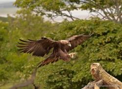 golden-eagle-050-northumberland-copyright-photographers-on-safari-com