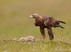 golden-eagle-051-northumberland-copyright-photographers-on-safari-com