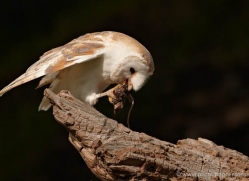 barn-owl-015-northumberland-copyright-photographers-on-safari-com