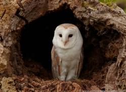barn-owl-017-northumberland-copyright-photographers-on-safari-com